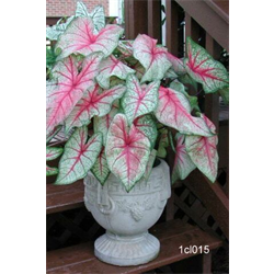 Caladium White Queen (5 bulbs per pkg - Ships March thru June)