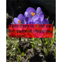 *SOLD OUT* Crocus tommasinianus 'Barr's Purple' (25 bulbs per pkg - Ships