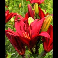 Lily bulk Asiatic Red  ½ BU - Ships Oct thru June)