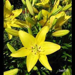 Lily Asiatic Yellow  (5 bulbs per pkg - Ships Oct thru June)