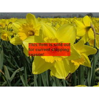 *SOLD OUT* Daffodil Lg. Cup Carlton (10 bulbs per pkg - Ships Oct thru Jan)
