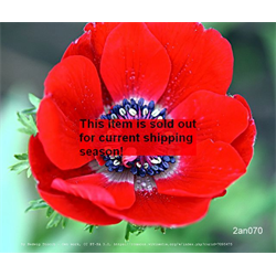 *SOLD OUT* Anemone coronaria double Governor (25 bulbs/pkg - Ships Oct thru June