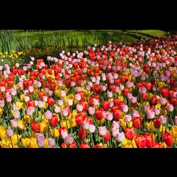 Tulip Darwin Hybrid Mixture (10 bulbs per pkg - Ships Oct thru Jan)