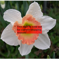 *SOLD OUT* Daffodil Lg. Cup Pink Pride (10 bulbs per pkg - Ships Oct thru Jan)