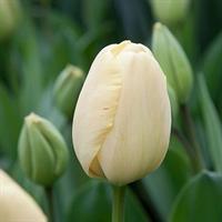 Tulip Darwin Hybrid Ivory Floradale (10 bulbs per pkg - Ships Oct