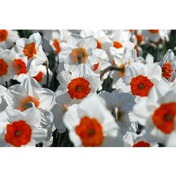 Daffodil Lg. Cup Professor Einstein (10 bulbs per pkg - Ships Oct