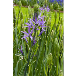 Camassia cusickii (3 bulbs per pkg - Ship Oct thru Jan)