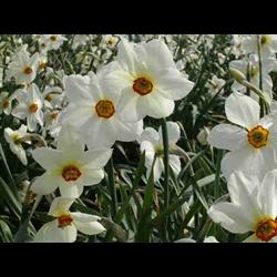 Daffodil Poeticus Actaea (10 bulbs per pkg - Ships Oct thru Jan)