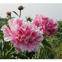 Peony Sarah Bernhardt (3 Plants per pkg - Ships Oct thru Jan)