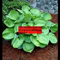 *SOLD OUT* Hosta bulk Green Leaf (½ BU - Ships Oct thru June)