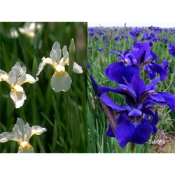 Iris sibirica Collection (20 plants per collection - Ships Oct thru June)