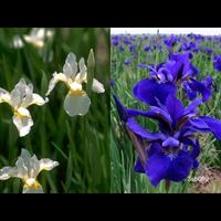Iris sibirica Collection (20 plants per collection - Ships Oct thru June)