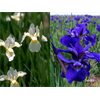 Additional images for Iris sibirica Collection (20 plants per collection - Ships Oct thru June)