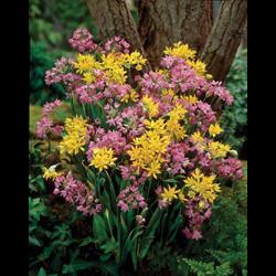 Allium mixture (25 bulbs per pkg - ships Oct thru Jan)