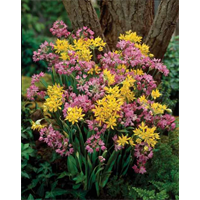 Allium mixture (25 bulbs per pkg - ships Oct thru Jan)