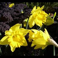 Daffodil Trumpet Dutch Master (10 bulbs per pkg - Ships Oct thru Jan)