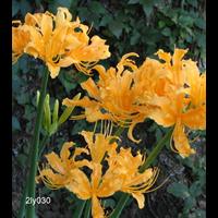 Lycoris aurea (3 bulbs per pkg - Ships Oct thru Jan)
