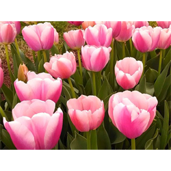 Tulip Darwin Hybrid Ollioules (10 bulbs per pkg - Ships Oct thru Jan)