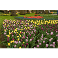 Tulip Triumph Mixture (10 bulbs per pkg - Ships Oct thru Jan)