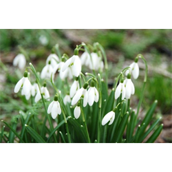 Galanthus woronowii (10 bulbs per pkg - Ships Oct thru Jan)