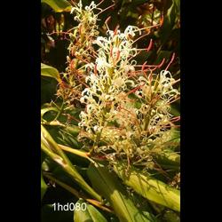 Hedychium griffithianum (3 bulbs per pkg - Ships March thru June)