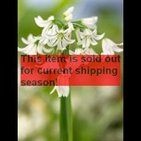 *SOLD OUT* Allium triquetrum (25 bulbs per pkg - ships Oct thru Jan)