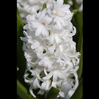 Hyacinth Carnegie (5 bulbs per pkg - Ships Oct thru Jan)