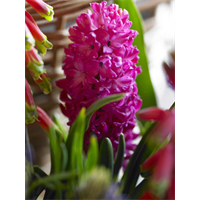 Hyacinth Jan Bos (5 bulbs per pkg - Ships Oct thru Jan)