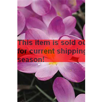 *SOLD OUT* Crocus tommasinianus 'Ruby Giant' (25 bulbs per pkg - Ships Oct