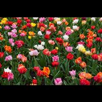 Tulip Double Peony Mixture (10 bulbs per pkg - Ships Oct thru Jan)
