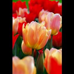 Tulip Triumph Apricot Beauty (10 bulbs per pkg - Ships Oct thru Jan)