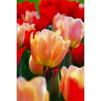 Tulip Triumph Apricot Beauty (10 bulbs per pkg - Ships Oct thru Jan)