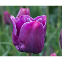 Tulip Single Late Cum Laude (10 bulbs per pkg - Ships Oct thru Jan)