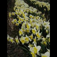 Daffodil bulk Ice Follies (½ BU - Ships Oct thru Jan)