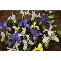 Dwarf Iris Mixed (25 bulbs per pkg - Ships Oct thru Jan)