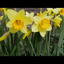 Daffodil Lg. Cup Fortune (10 bulbs per pkg - Ships Oct thru Jan)