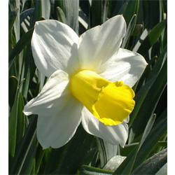 Daffodil Trumpet Holland Sensation (10 bulbs per pkg - Ships Oct thru Jan)