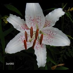 Lily Oriental Siberia (5 plants per pkg - Ships Oct thru June)