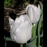 Tulip Fringed Swan Wings (10 bulbs per pkg - Ships Oct thru Jan)