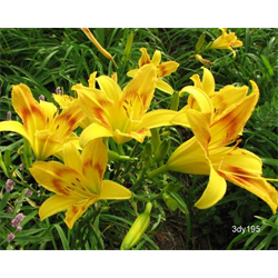 Daylily Wilson's Yellow (5 plants per pkg - Ships Oct thru June)