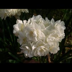 Daffodil Double Erlicheer (10 bulbs per pkg - Ships Oct thru Jan)