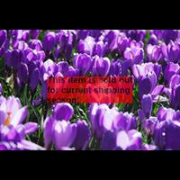 *SOLD OUT* Crocus vernus Flower Record (25 bulbs per pkg - Ships Oct thru Jan)
