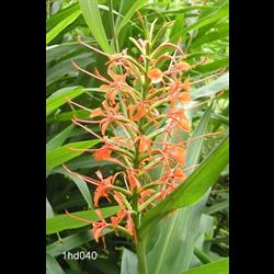 Hedychium coccineum (3 bulbs per pkg - Ships March thru June)