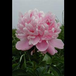 Peony bulk Pink (½ BU - Ships Oct thru Jan)