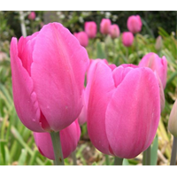 Tulip Triumph Don Quichotte (10 bulbs per pkg - Ships Oct thru Jan)