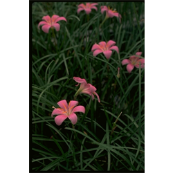 Zephyranthes robustus (25 bulbs per pkg - Ships March thru June)