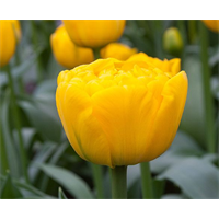 Tulip Double Yellow Pomponette (10 bulbs per pkg - Ships Oct thru Jan)