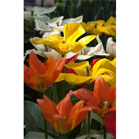 Tulip Fosteriana Emperor Mixture (10 bulbs per pkg - Ships Oct thru Jan)