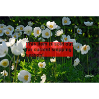 *SOLD OUT* Anemone coronaria The Bride (25 bulbs/pkg - Ships Oct thru June)