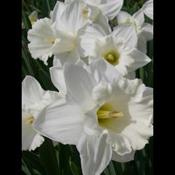 Daffodil Trumpet Mount Hood (10 bulbs per pkg - Ships Oct thru Jan)